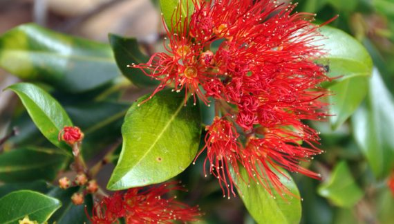 Australian Native Flowers - Zenscape Gardens
